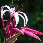 November is the perfect weather month for  the crinum lily by carla to bloom