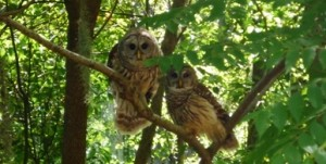 Thurston House owl couple