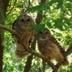 owl couple at Thurston House