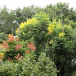 November is the perfect weather month for the Golden Rain Tree at Maitland B&B