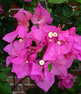 Beautiful bougainvillea!