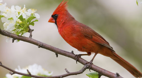 A cardinal makes his home at our Maitland Florida Lodging