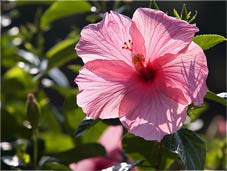 Enjoy Hibiscus & Other Flowers at Our Central Florida Bed and Breakfast