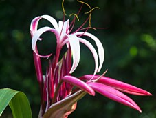 Enjoy beautiful crinum lillies and other flowers at our Orlando Bed and Breakfast