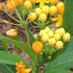 butterfly garden plant